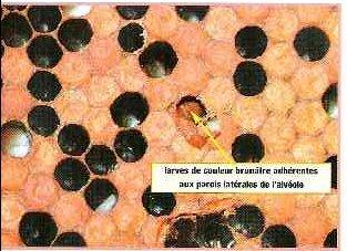 Maladies des abeilles et traitement pdf